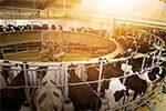 JOSERA cattle on the milk carousel